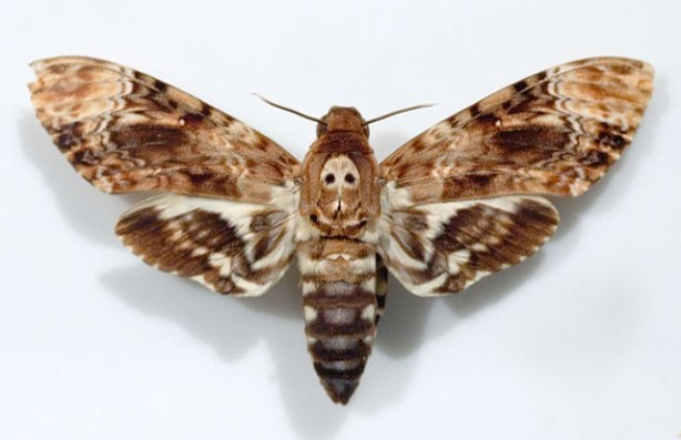 deaths-head-hawkmoth
